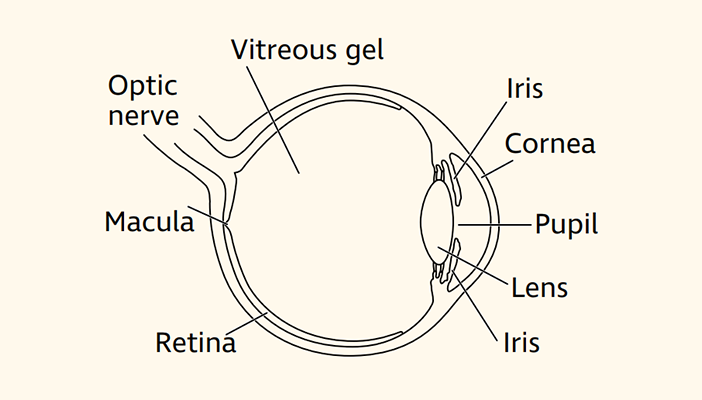 A diagram showing cross section of the eye with different parts labelled