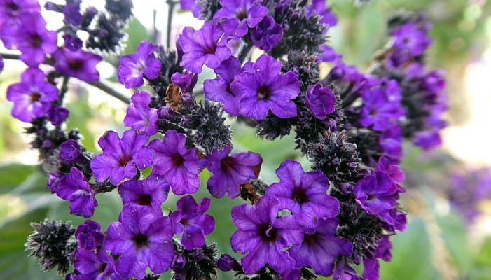 Image shows heliotrope flowers