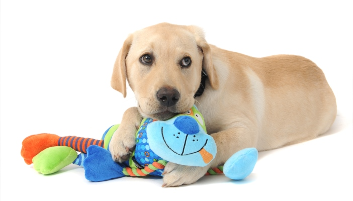 Guide dog puppy playing with toy (credit to Guide Dogs UK)
