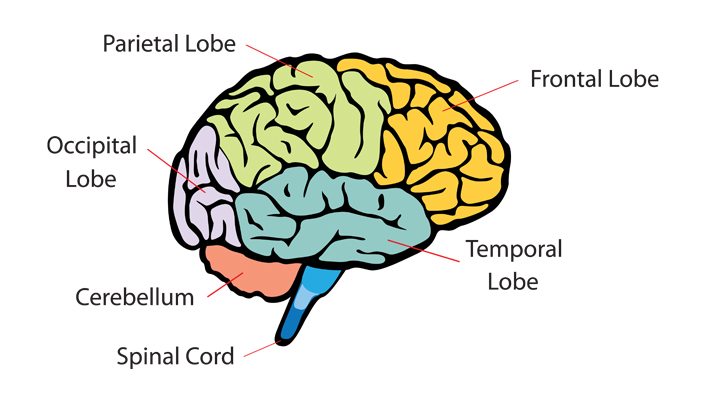 An illustrative picture of the brain split into different colours for each section identifying: Parietal lobe top left, Frontal lobe top right, Occipital lobe left hand side, Temporal lobe bottom right, Cerebellum bottom left, Spinal cord bottom middle